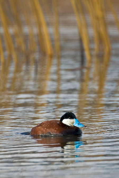 Ruddy Duck breeding male in Malheur National Wildlife Refuge