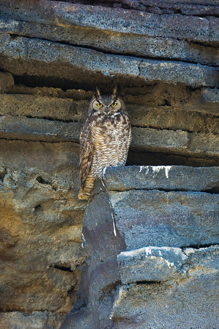 Great Horned Owl at Diamond Craters
