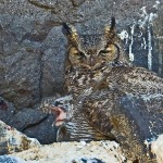 Great Horned Owl on nest in Diamond Craters