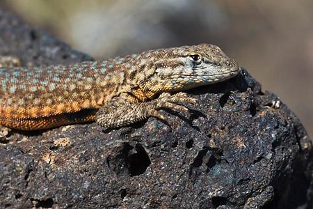 Side-blotched Lizard Portrait