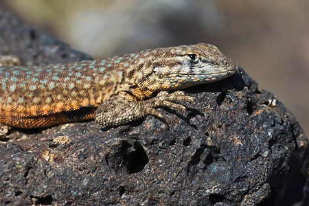 Side-blotched Lizard Portrait