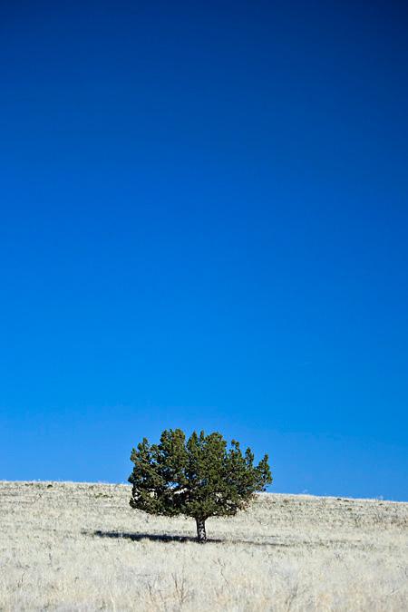 Western Juniper stands alone in the prairie