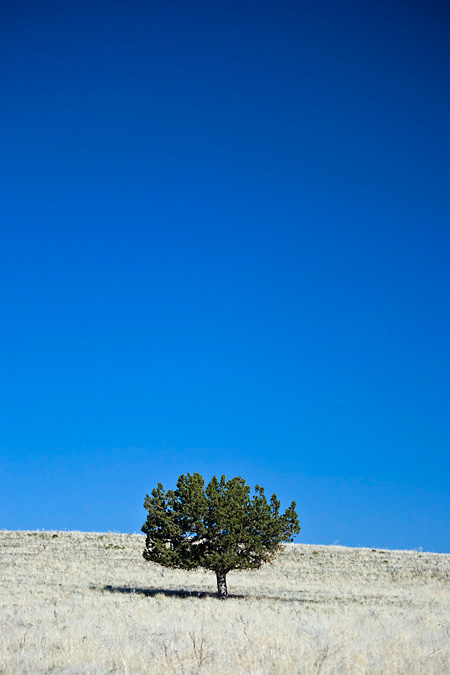 Western Juniper stands alone in the prairie