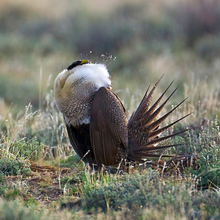 Greater Sage-Grouse, Centrocercus urophasianus, on Malheur lek