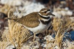 Killdeer nesting on alkalai flat at Malheur Refuge