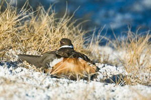 Killdeer faking broken wing in salt flats at Malheur Refuge