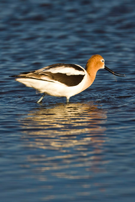 American Avocet, Recurvirostra americana, feeding at Malheur, OR