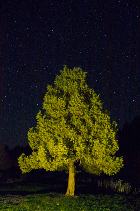 Western Juniper and stars near Malheur Refuge, Oregon