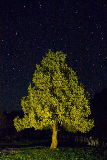 Western Juniper and stars near Malheur Refuge, Oregon