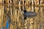 American Coot, Fulica americana, in Malheur Refuge, Oregon