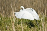 Great Egret, Ardea alba, in breeding plumage at Malheur Refuge,