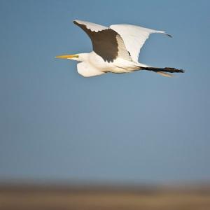 Great Egret, Ardea alba, in flight at Malheur Refuge, OR