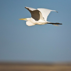 Great Egret, Ardea alba, in flight at Malheur Refuge, OR