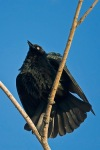 Brewer's Blackbird, Euphagus cyanocephalus, displaying at Malheu