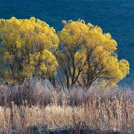 Willows, Salix sp., near Frenchglen in Malheur Refuge, Oregon