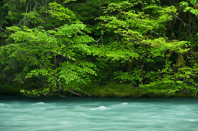 Vine Maples along Dosewallips River