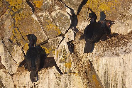 Pelagic Cormorants with chicks
