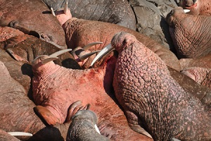 Pacific Walrus threat postures among the resting herd