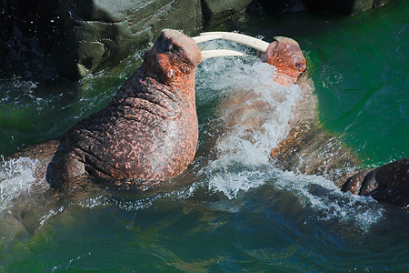 Pacific Walruses battling for dominance
