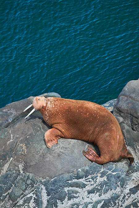 Pacific Walrus using flippers to move on a rock