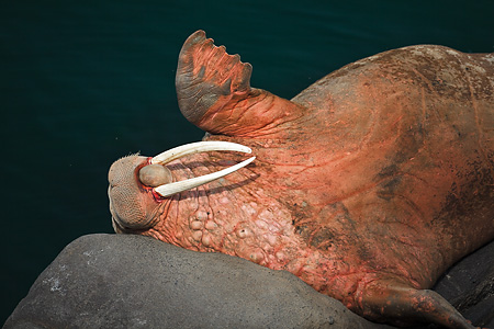 Pacific Walrus waving flipper while resting