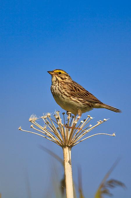 Savannah Sparrow atop dried umbel