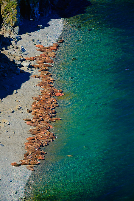 Pacific Walrus haulout along Dragon's Tail