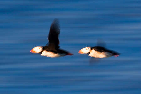 Horned Puffins motion picture