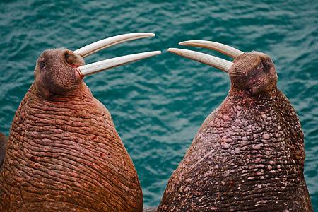 Pacific Walrus threat posture