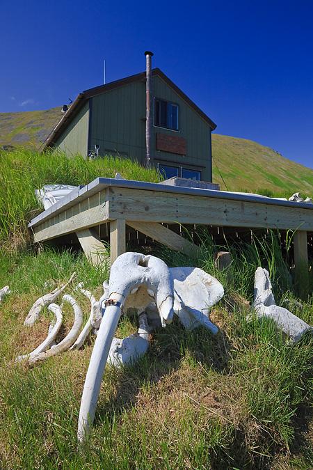 Pacific Walrus bones and tusks on Round Island