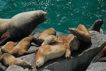 Steller Sea Lions at Round Island