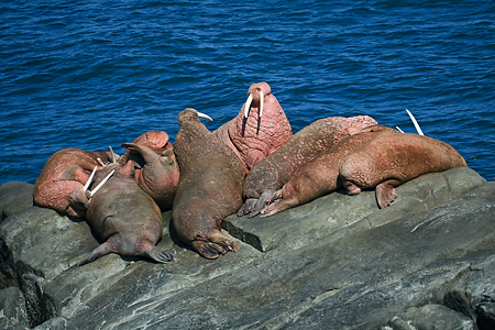 Pacific Walruses showing threat postures in haulout on Round Isl