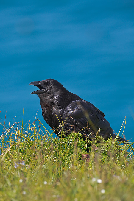 Common Raven Panting