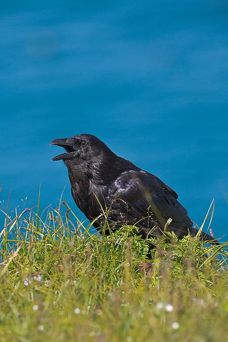 Common Raven Panting