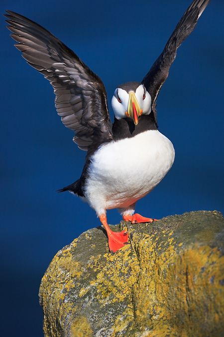 Horned Puffin in breeding plumage