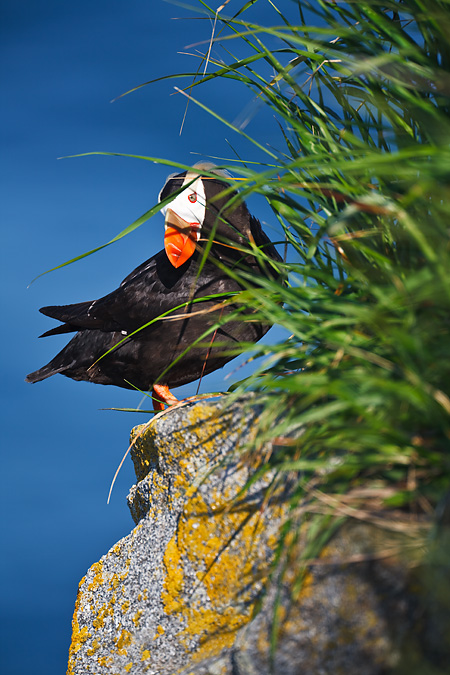 Tufted Puffin at burrow entrance