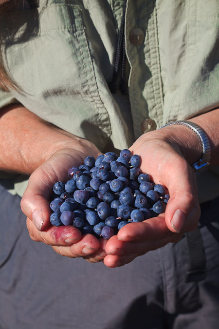 Cascade Blueberries ripe for the picking