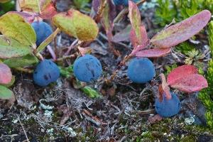 Cascade Blueberries (Vaccinium deliciosum)