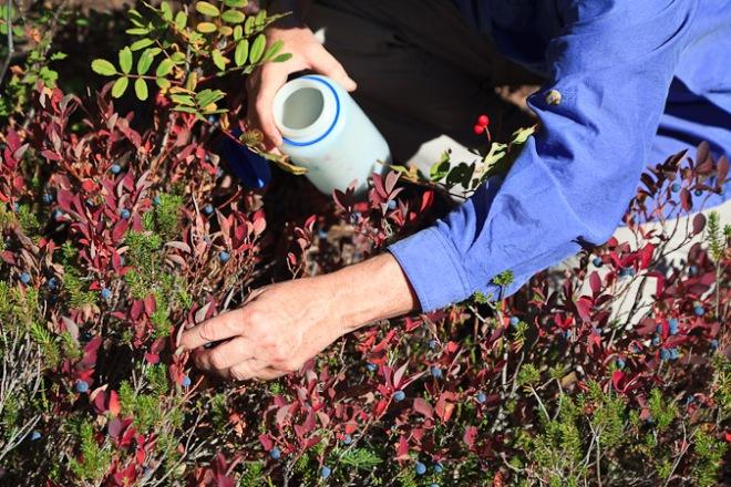 Picking Cascades Blueberries