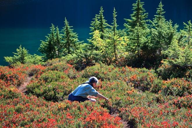 Karen Rentz picking Cascades Blueberries