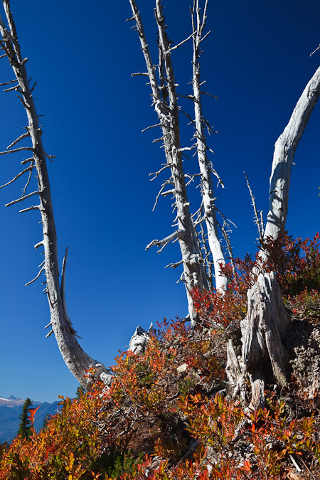 Ghost conifers in the subalpine