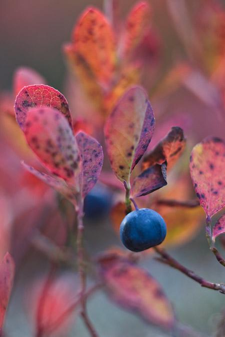 Cascades Blueberry (Vaccinium deliciosum)