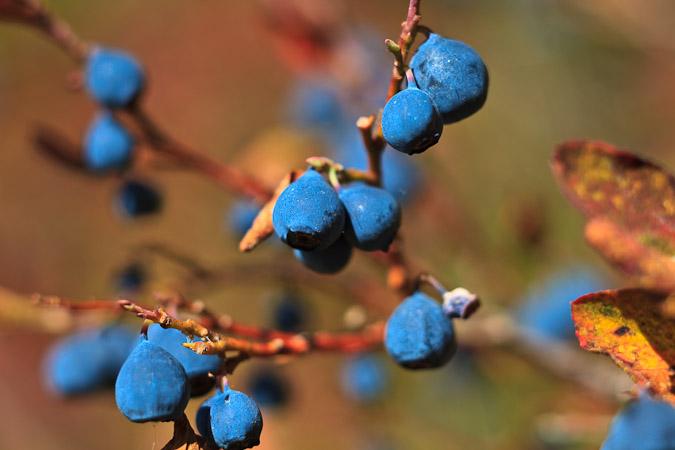 Dwarf Blueberry (Vaccinium caespitosum)