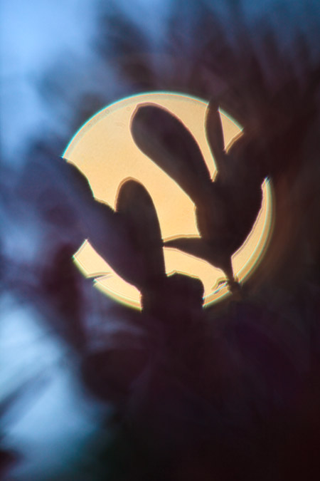 Blueberry leaves with sun behind