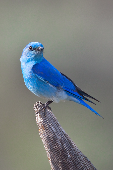 Blue bird - photo#16