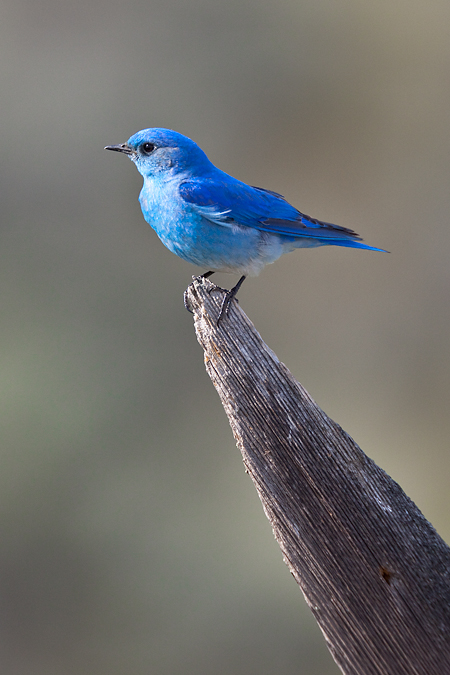Blue bird - photo#21