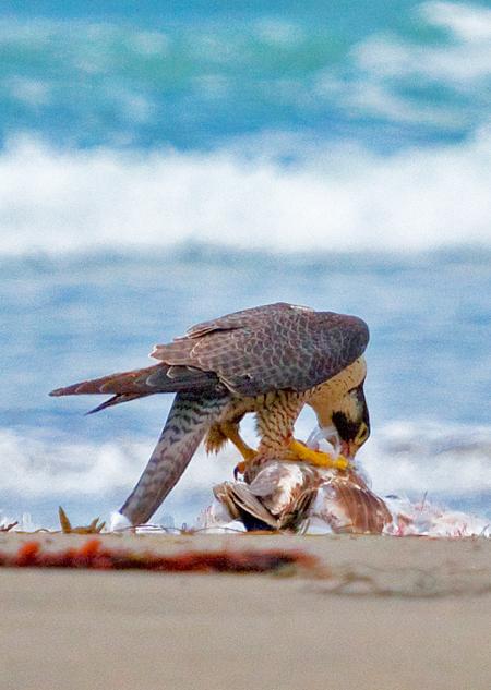 Falconiformes. sub Falconidae - sub fam Falconinae - gênero Falco - Página 2 Point_of_arches-19-21