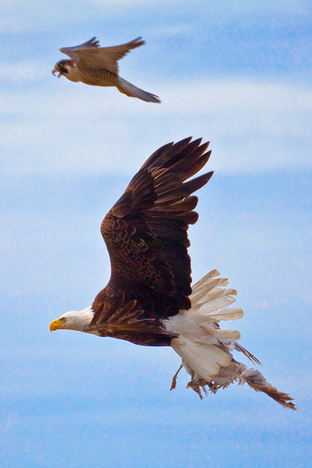 Falconiformes. sub Falconidae - sub fam Falconinae - gênero Falco - Página 2 Point_of_arches-33