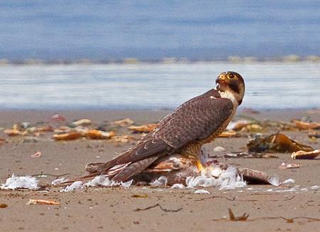 Falconiformes. sub Falconidae - sub fam Falconinae - gênero Falco - Página 2 Point_of_arches-6-2