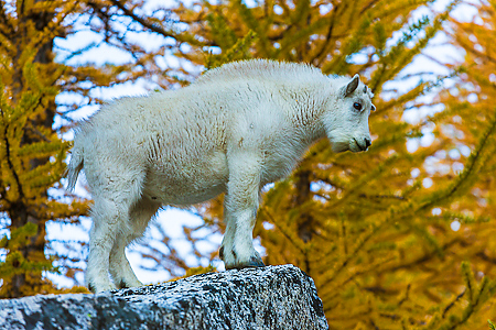 Mountain Goat Kid Standing atop Rock in The Enchantments